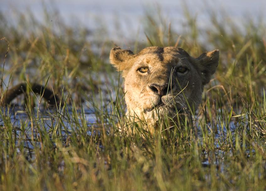 Ramsar lioness in okavango delta